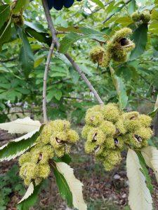twignutsburs