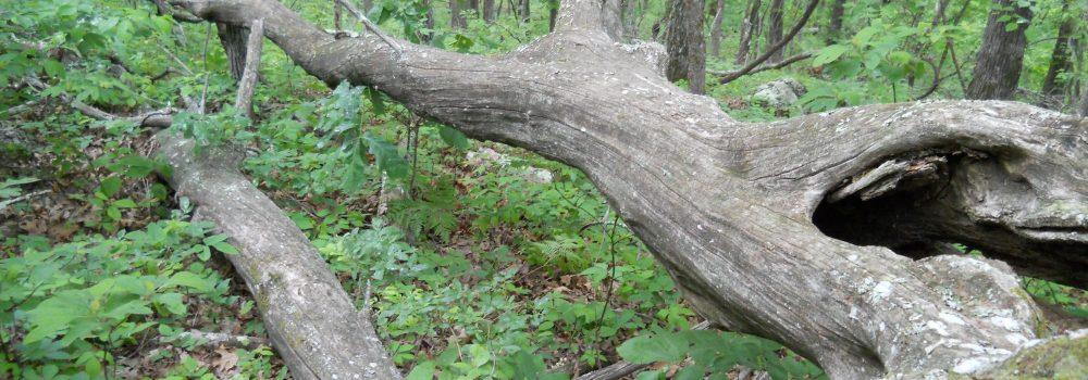1950s rot resitant logs Ozarkchinquapin Logs
