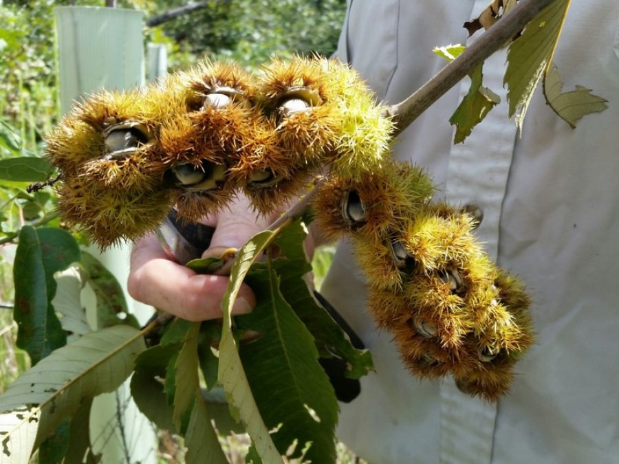 Chinquapin burs, nuts leaves seed