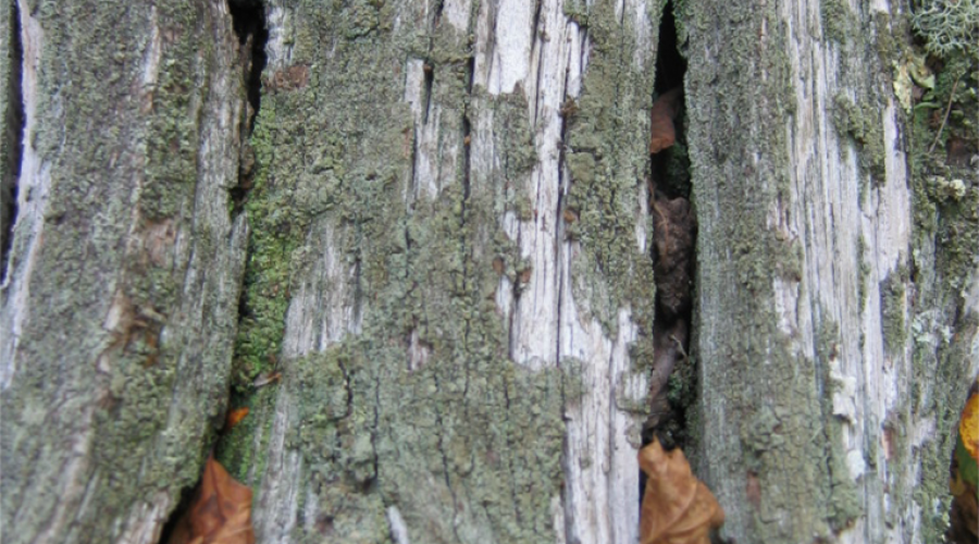 Chinquapin trunk (1)